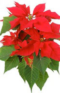 Christmas Poinsettia flower display in hotels